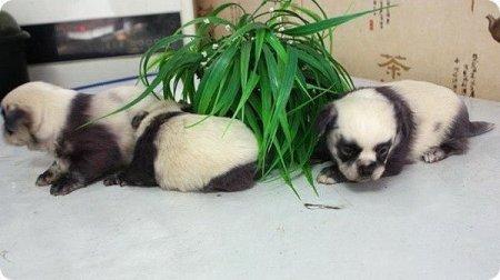 В Китае на свет появились щенки, похожие на панд