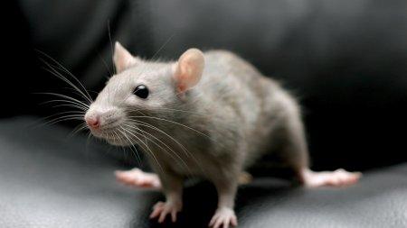 В бразильской тюрьме поймали мышь, обученную доставлять наркотики