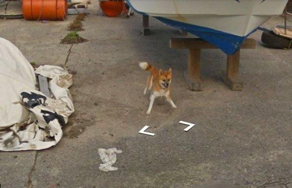 Пес погнался за машиной Google Street View и попал на все кадры