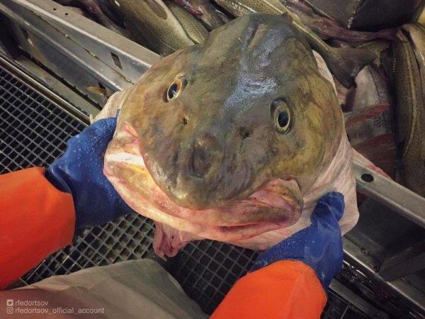 Мурманский рыбак наловил кучу страшных морских тварей