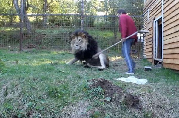 Чеха растерзали львы, которых он содержал во дворе своего дома