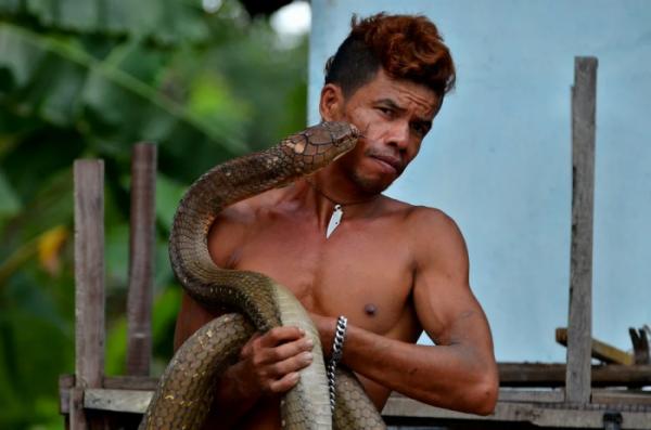 Королевская кобра - поедательница змей