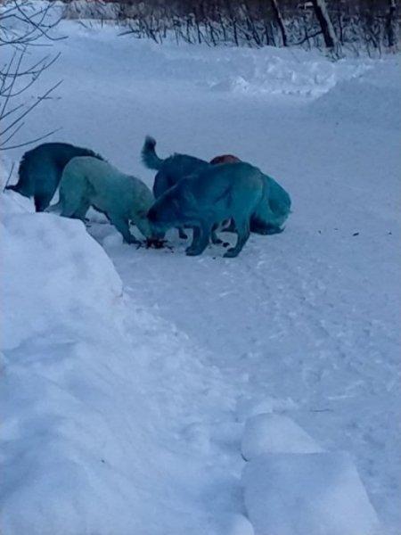 Голубые собаки